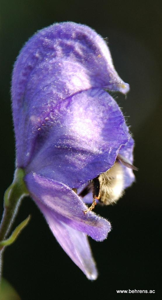 Eisenhut - Aconitum mit Hummel