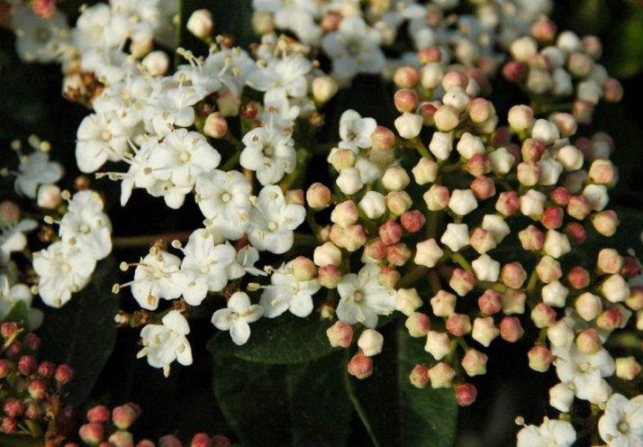 Viburnum tinus - Lorbeerschneeball