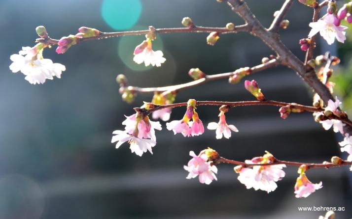 Zierkirsche - Prunus 'Autumnalis'