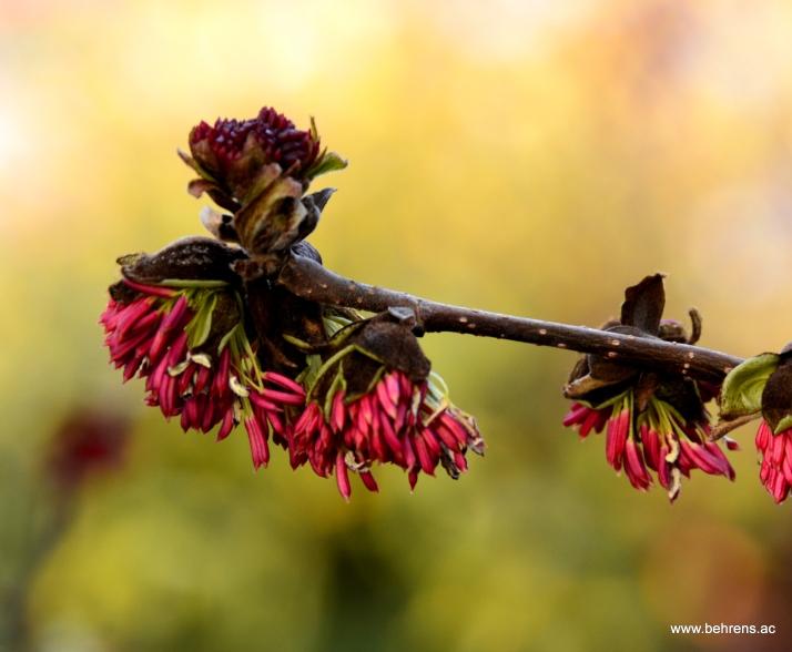 Eisenholzbaum - Parrotia persica