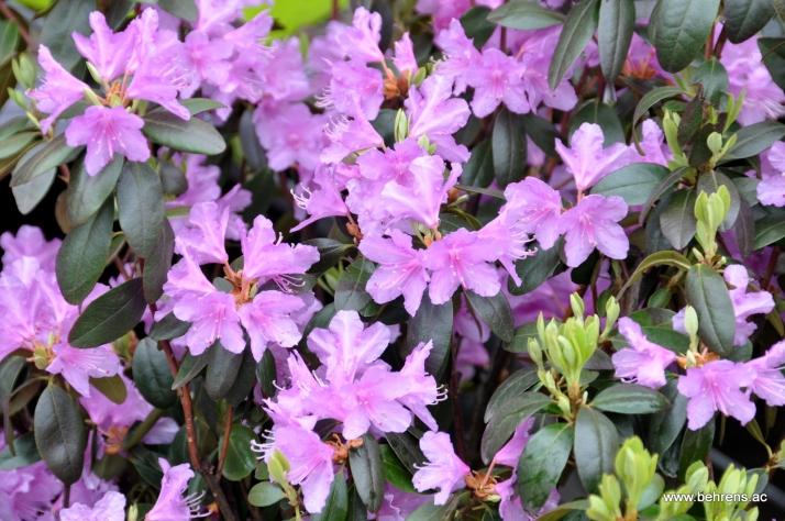 Rhododendron P.J.Mezitt - Frühblühender Rhododendron