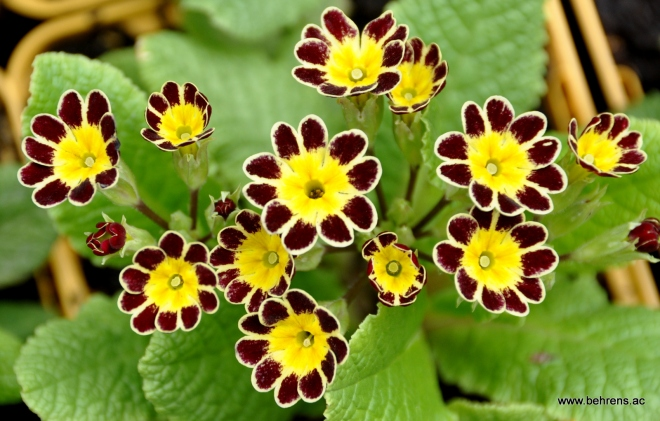 Primula 'Black Lace'