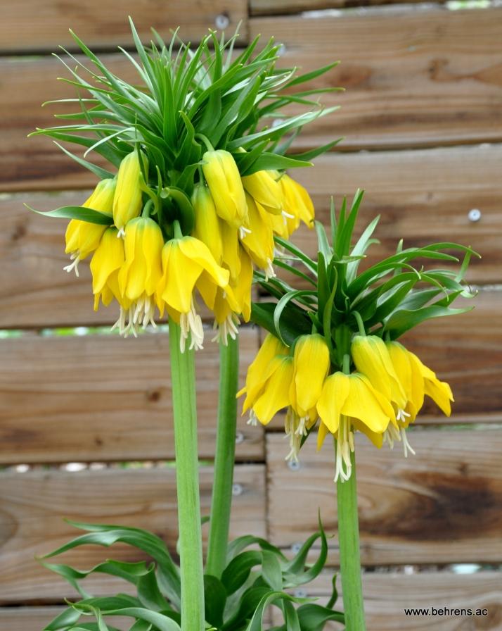 Fritillaria imperialis 'Lutea Maxima' - Kaiserkrone