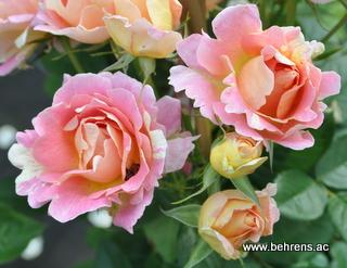 franzoesische rosen behrens