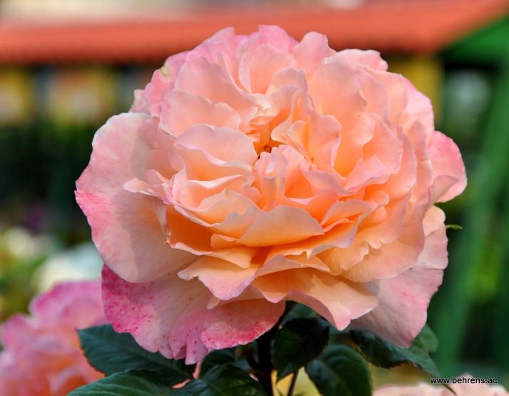 rose augusta luisa