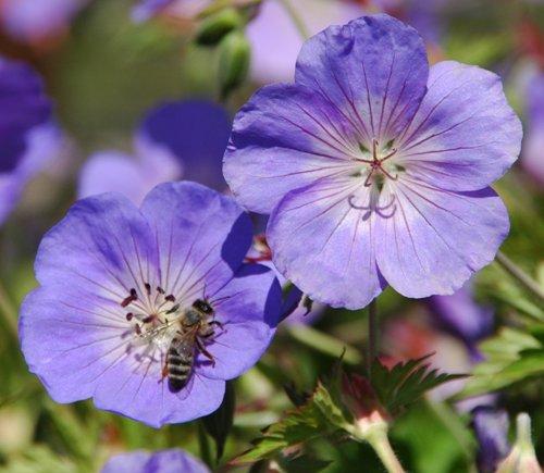 Geranium 'Rozanne' mit Biene