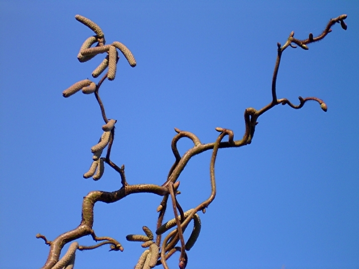corylus-contorta-pixelio-uwe-laufer