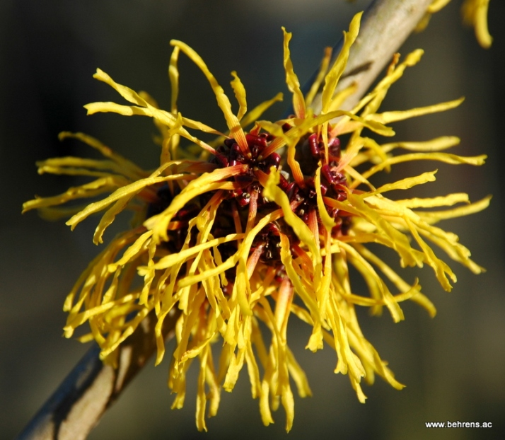 hamamelis-barmstedts-gold