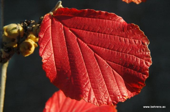 hamamelis-zaubernuss-herbstfaerbung