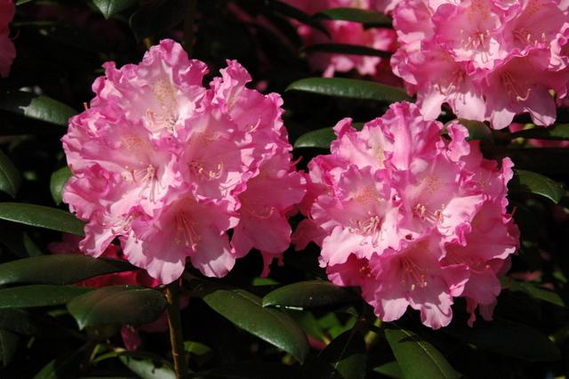 rhododendron sorten gro blumige rhododendron hybriden klassische rhododendron die beliebtesten. Black Bedroom Furniture Sets. Home Design Ideas