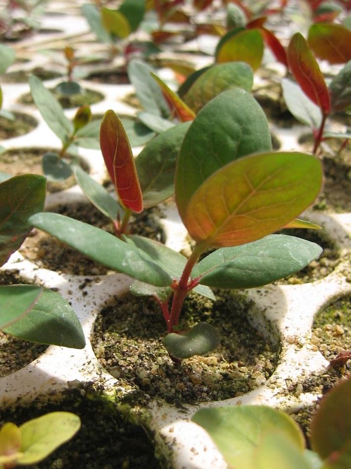 multitopf jungpflanze