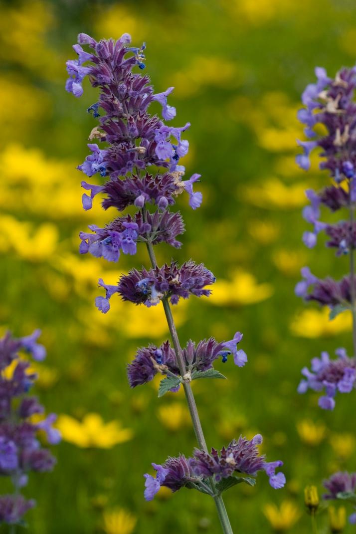 Nepeta-Blüte vor gelbem Mädchenauge