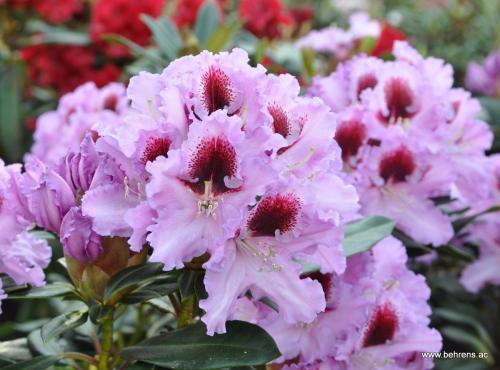 10 mai 2011 behrens gartengestaltung for Gartengestaltung rhododendron
