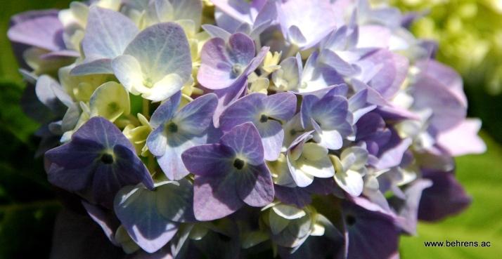 jetzt pflanzen hortensien endless summer behrens. Black Bedroom Furniture Sets. Home Design Ideas