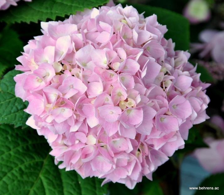 jetzt pflanzen hortensien endless summer behrens gartengestaltung. Black Bedroom Furniture Sets. Home Design Ideas