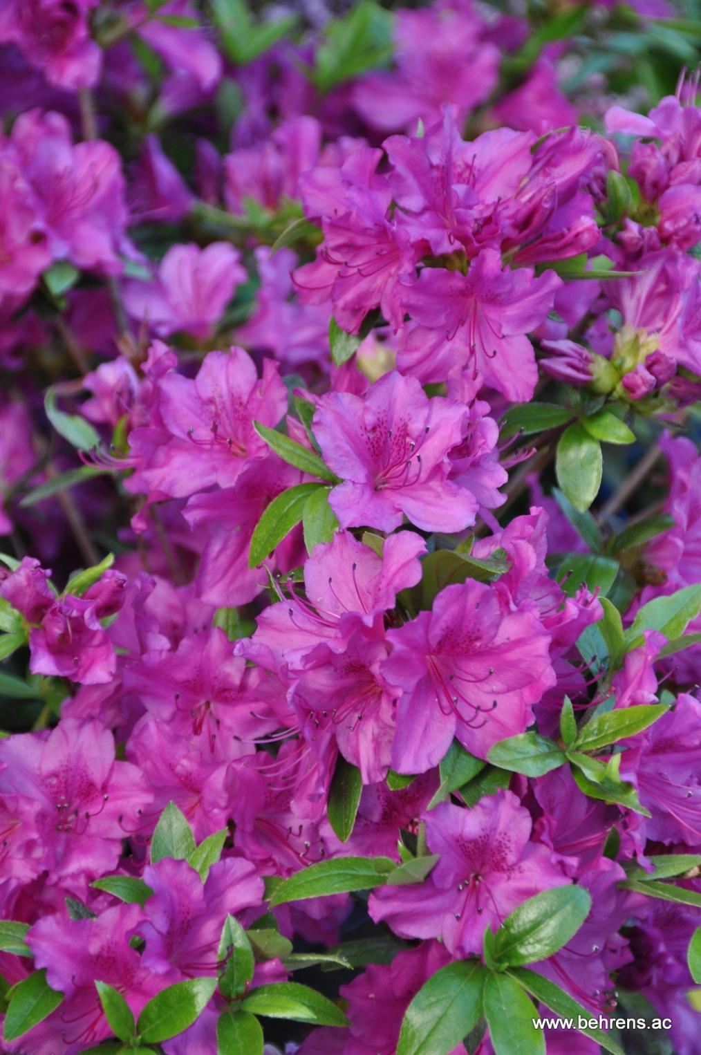 Herrliche rhodododendren und azaleen jetzt pflanzen for Azalea japonica