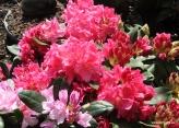 Rhododendron Caruso