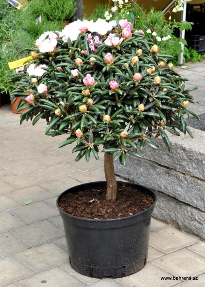 Rhododendron yakushimanum Stamm