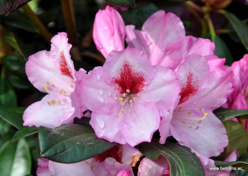 Rhododendron Diadem
