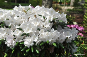 Rhododendron yakushimanum weiß