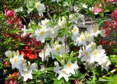 Azalea sommergrün weißblühend