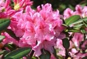 Rhododendron großblumig