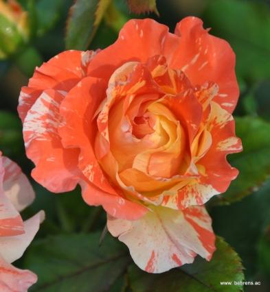 rose alfred sisley