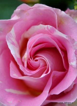 rose claude monet