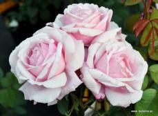 rose dieter mueller
