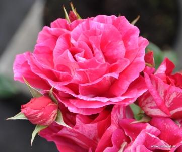 rose guy savoy