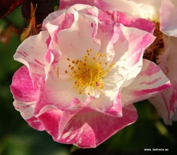rose sorbet framboise