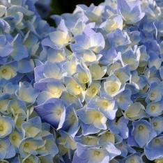 Hortensie - Hydrangea 'Endless Summer' ®