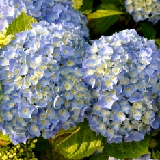Hortensie - Hydrangea macrophylla