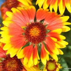 Kokardenblume - Gaillardia
