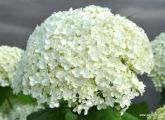 Schneeballhortensie - Hydrangea arborescens 'Annabelle'