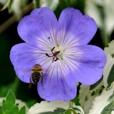 Storchschnabel - Geranium 'Rozanne' ®