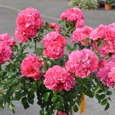 Rose 'Heidetraum' ®