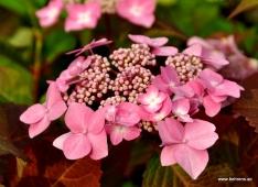 Hortensie - Hydrangea macrophylla 'Twist-n-Shout' ®