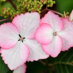 Hydrangea - Hortensie