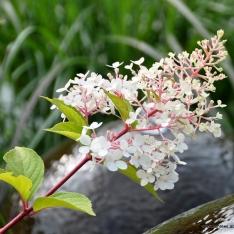Hydrangea paniculata - Rispenhortensie
