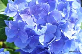 hortensie blau