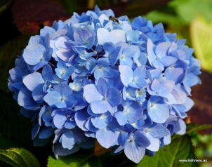 hortensie endless summer ® blau