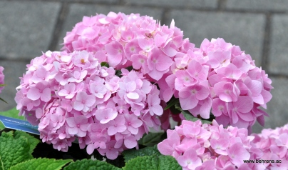 hortensie endless summer ® rosa