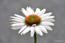 echinaecea 'fragrant angel' - sonnenhut