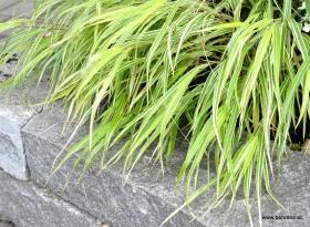 Hakonechloa macra 'Aureola' - Japanisches Berggras