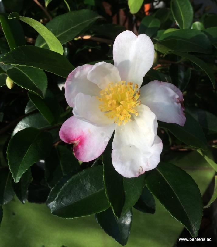 131115 camellia sasanqua a