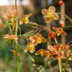 Staude des Jahres 2014: Elfenblumen – elegante Schönheiten für den Schattengarten