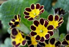 Gartenprimel - Primula 'Gold Laze Red'