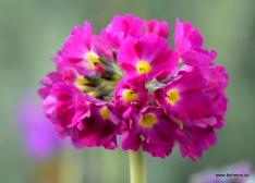 Kugelprimel - Primula denticulata