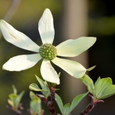 Blumenhartriegel - Cornus nuttalii 'Northstar'